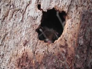 ウラヤマでのある日、うっかりもののムササビが日中に樹洞から顔を出した。ぼくも驚いたが、ぼくと目があったムササビはもっと驚いていた。しばらくは眠い目をこすって困り顔をしていたが、やがて樹洞の奥深くへもぐり、またまた寝てしまったようだ。