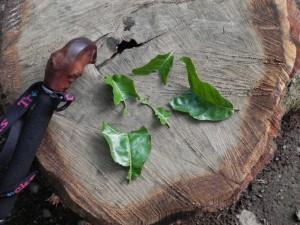ムササビはベジタリアンである。葉を半分に折って食べる習性があるので、囓られた葉っぱは左右対称に。ムササビの多い山には、こうした葉っぱが何枚も落ちている。 ほかにも、新芽がついていた枝、芯だけの松の実、おしべだけが食べられたツバキのつぼみなどが落ちていることも。