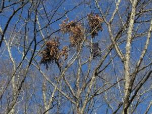 森のなかには、クマ棚があちこちに。秋に、ツキノワグマが木に登って実を食べた跡だ。