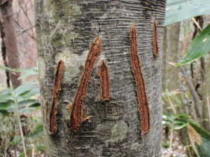 木肌には、木登り好きのツキノワグマの爪の跡がくっきり。(動物の痕跡写真は、撮影=安部滋)