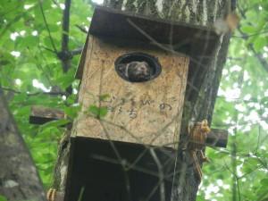 ひょっこり巣箱から顔を出したムササビくん。