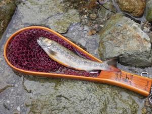 こちらも、太郎が釣ったイワナ。悔しいー。