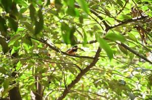 ヤマガラが住む森。 150年が100年で戻った、ということにも感心しきりだが、150年後を考えて森を作った人たちがいた、ということに、ぼくは励まされるのだった。