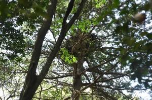 樹々の向こうにオオタカの巣が! どうやら、抱卵しているようだ。この春も、江戸っ子のオオタカが巣立つのだろうか。