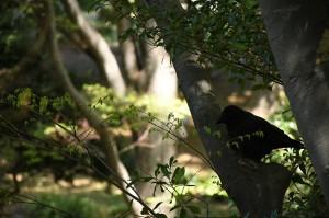 都会の鳥は、人慣れしている。くつろいだ様子のハシブトカラスは、近づいても逃げるそぶりを見せない。